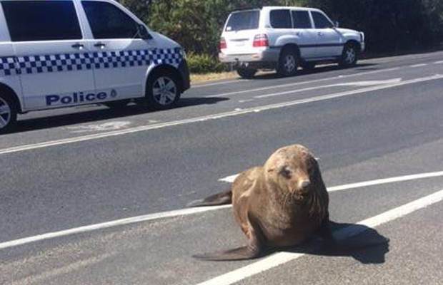 Seal hits the highway by the bay!