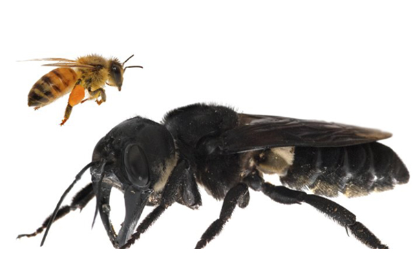 Article image for World's largest bee feared extinct found after almost 40 years