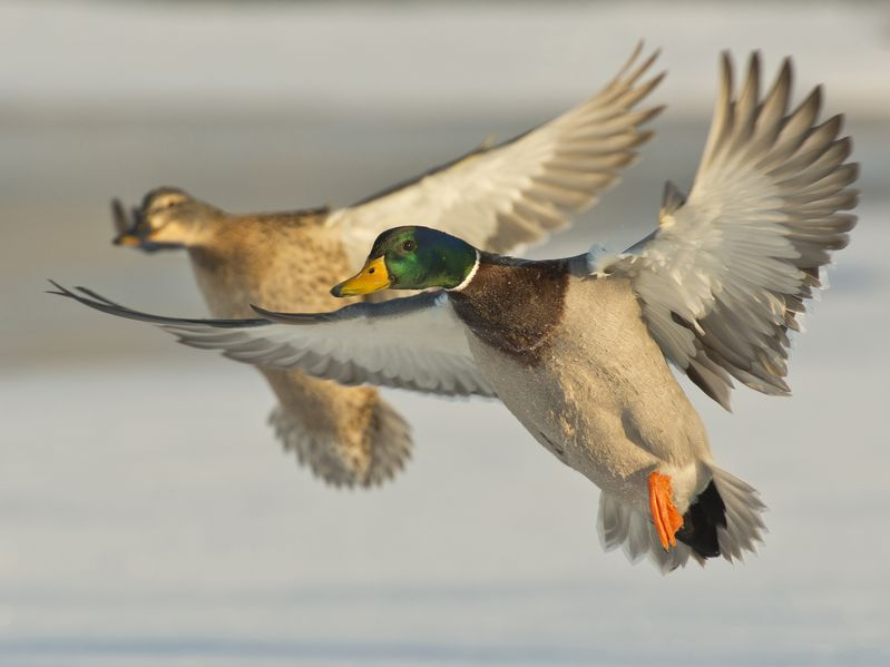 Article image for Neither shooters nor activists pleased with shortened Victorian duck season