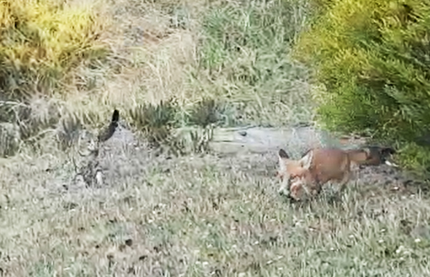 Article image for Feline wins suburban stand-off with fox