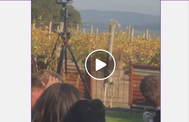 Article image for I roo: Jumpy start to Yarra Valley wedding