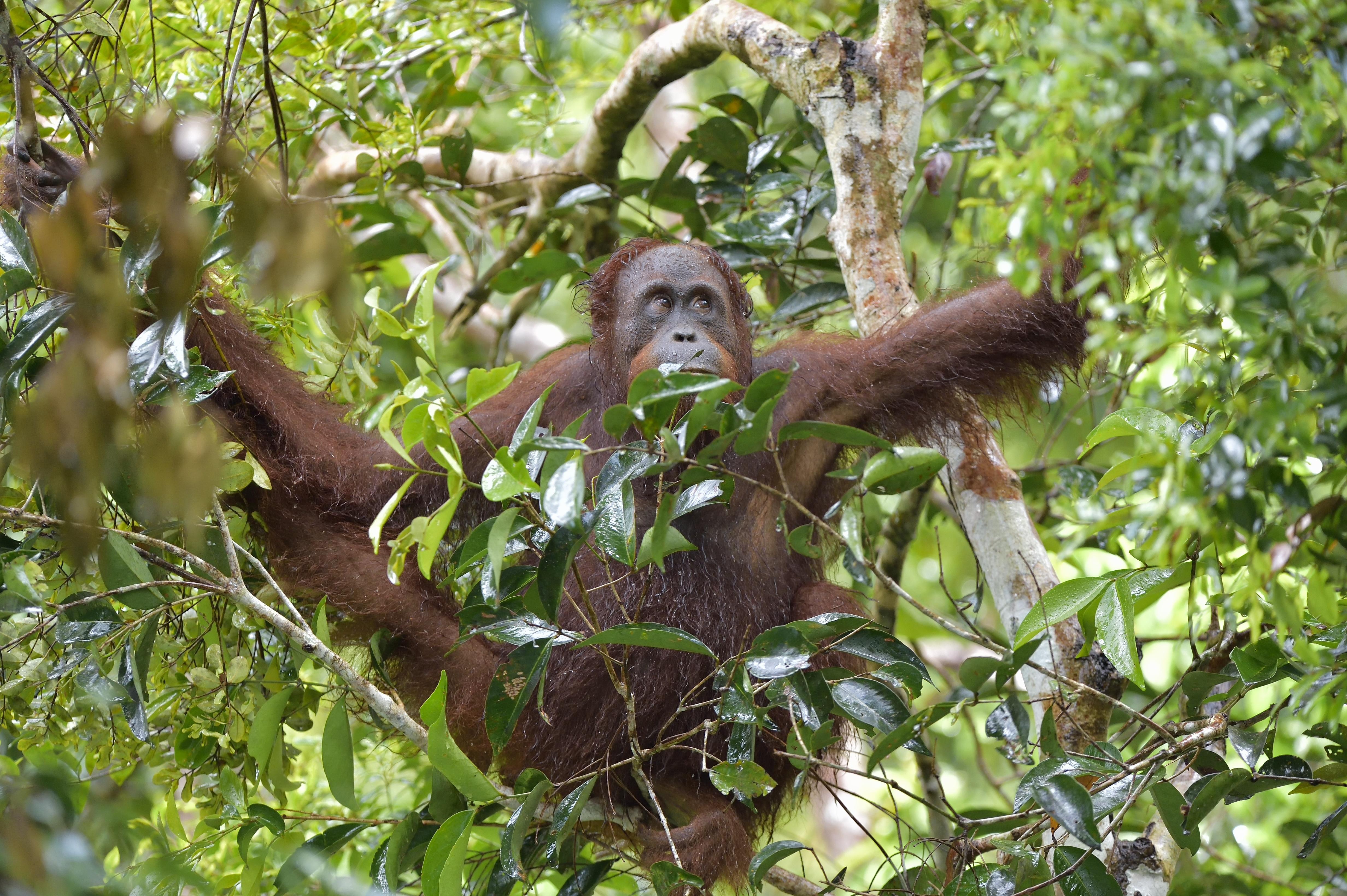 Article image for Orangutan escapes enclosure, sending Melbourne Zoo into lockdown