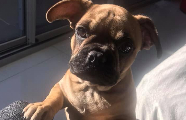 Young French Bulldog pup stolen during break-in in northern suburbs