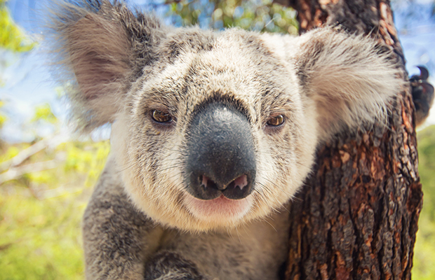 Article image for Koala crisis: We're at a 'tipping point' towards extinction