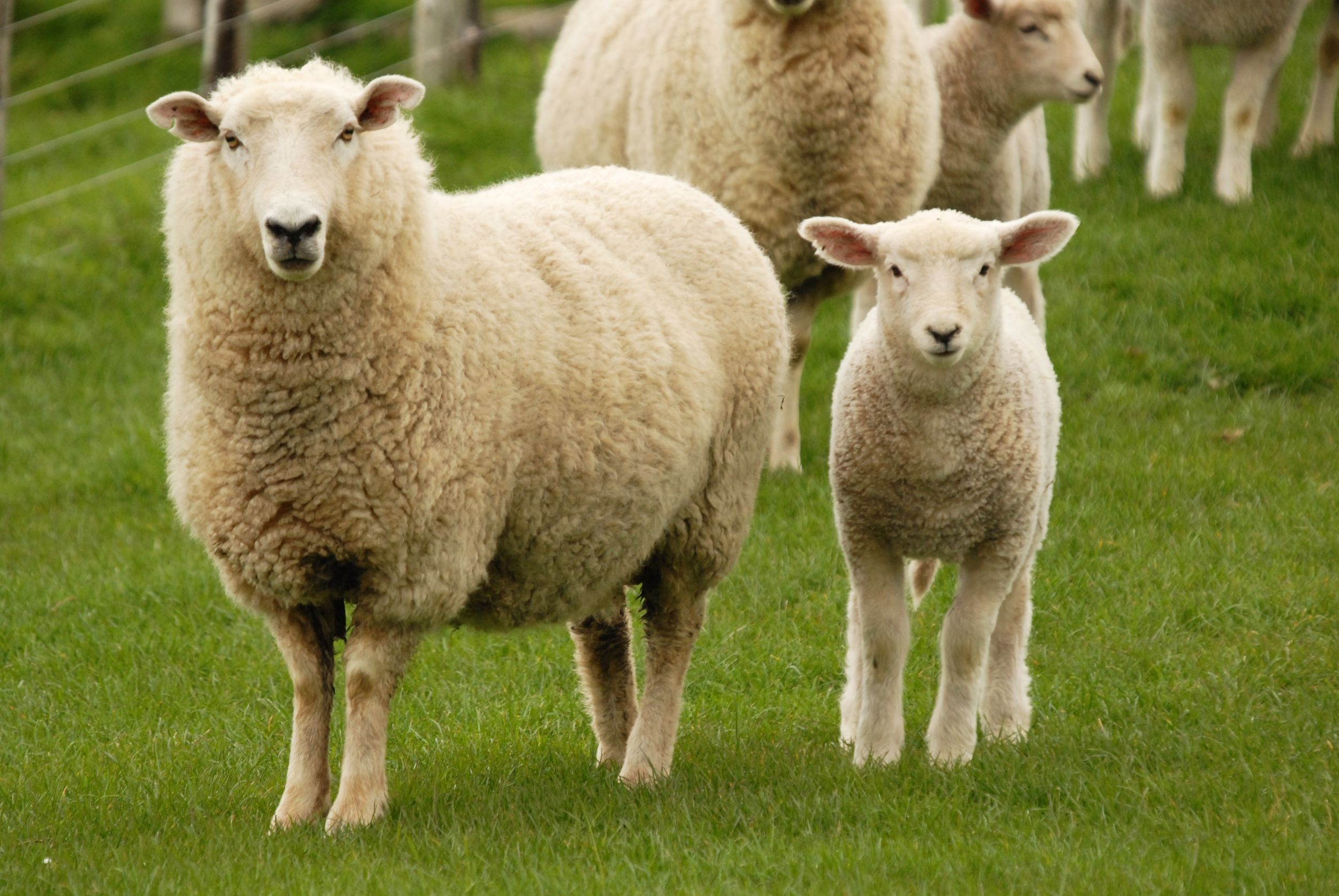 Article image for The definition of 'lamb' is about to change