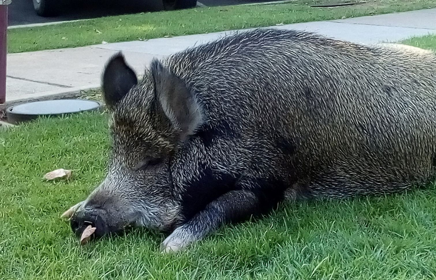 Article image for Grunt the pig to walk the streets of Wangaratta again