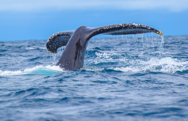 Article image for Race against time to free whale trapped in rope at Cape Nelson