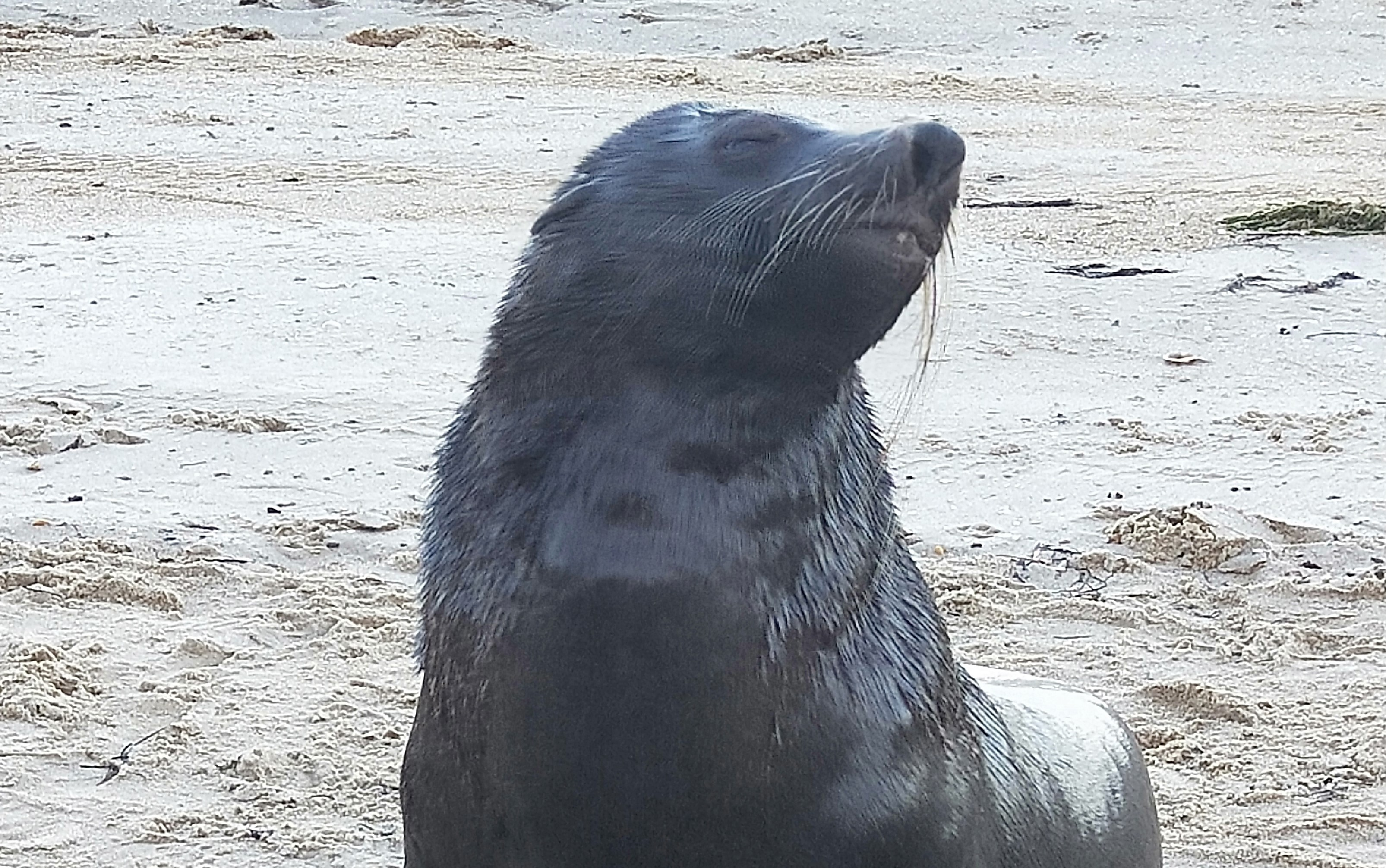 The huge Black Rock seal has died