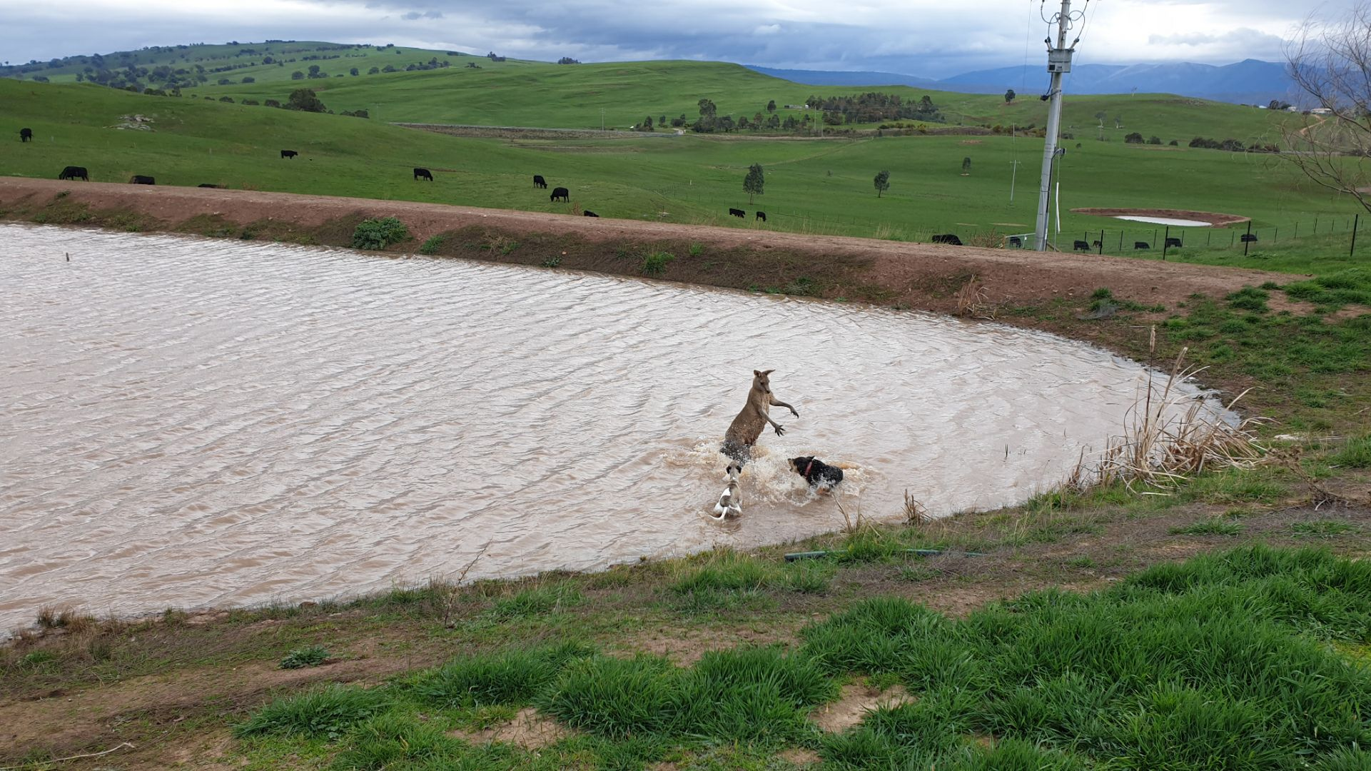 Article image for Kangaroo fends off dogs