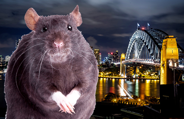 Article image for Sydney gripped by 'out-of-control' rat population