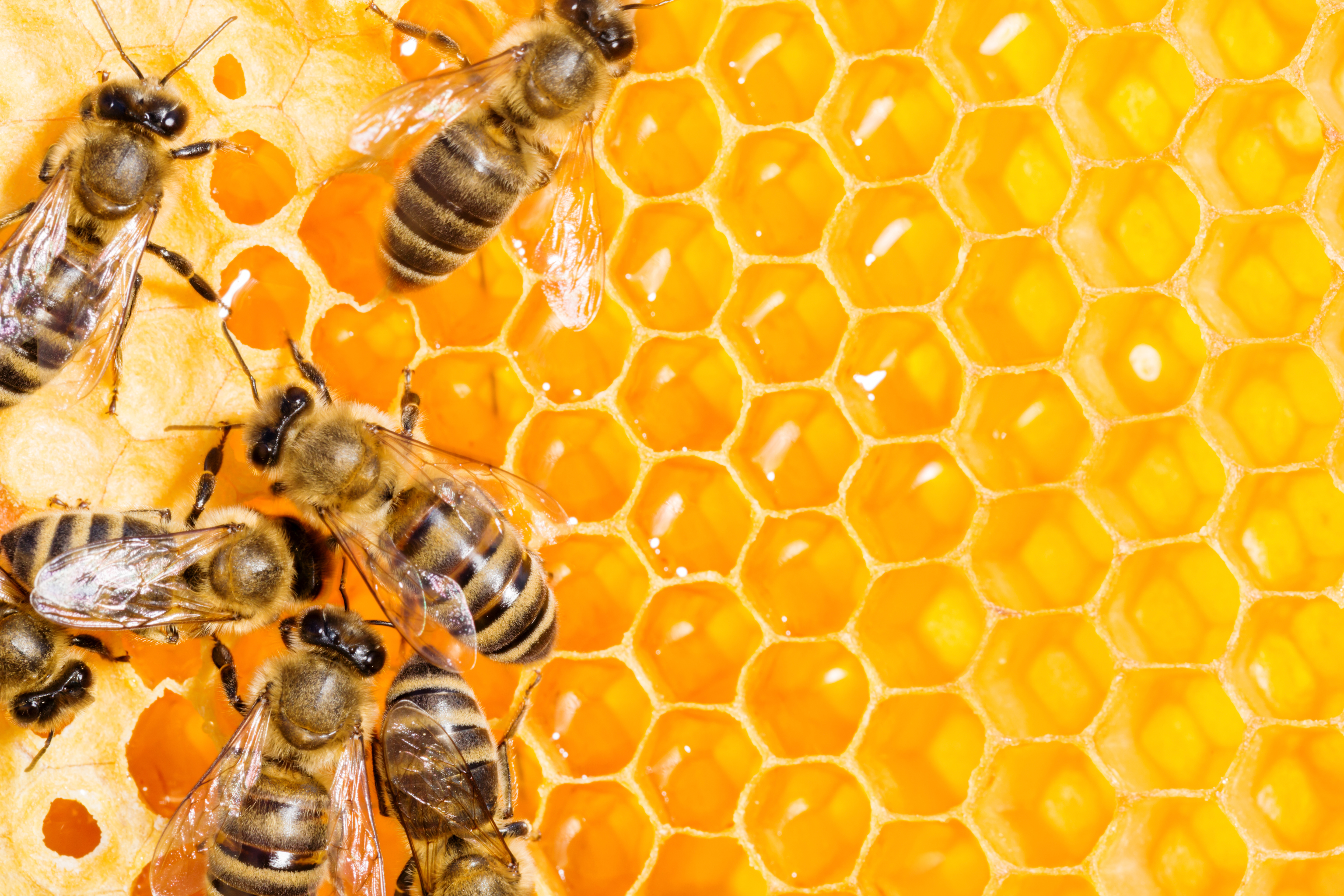 Article image for 'It's a lie!': Honey producers irate over New Zealand's bid to stop Australian beekeepers from using term 'manuka'