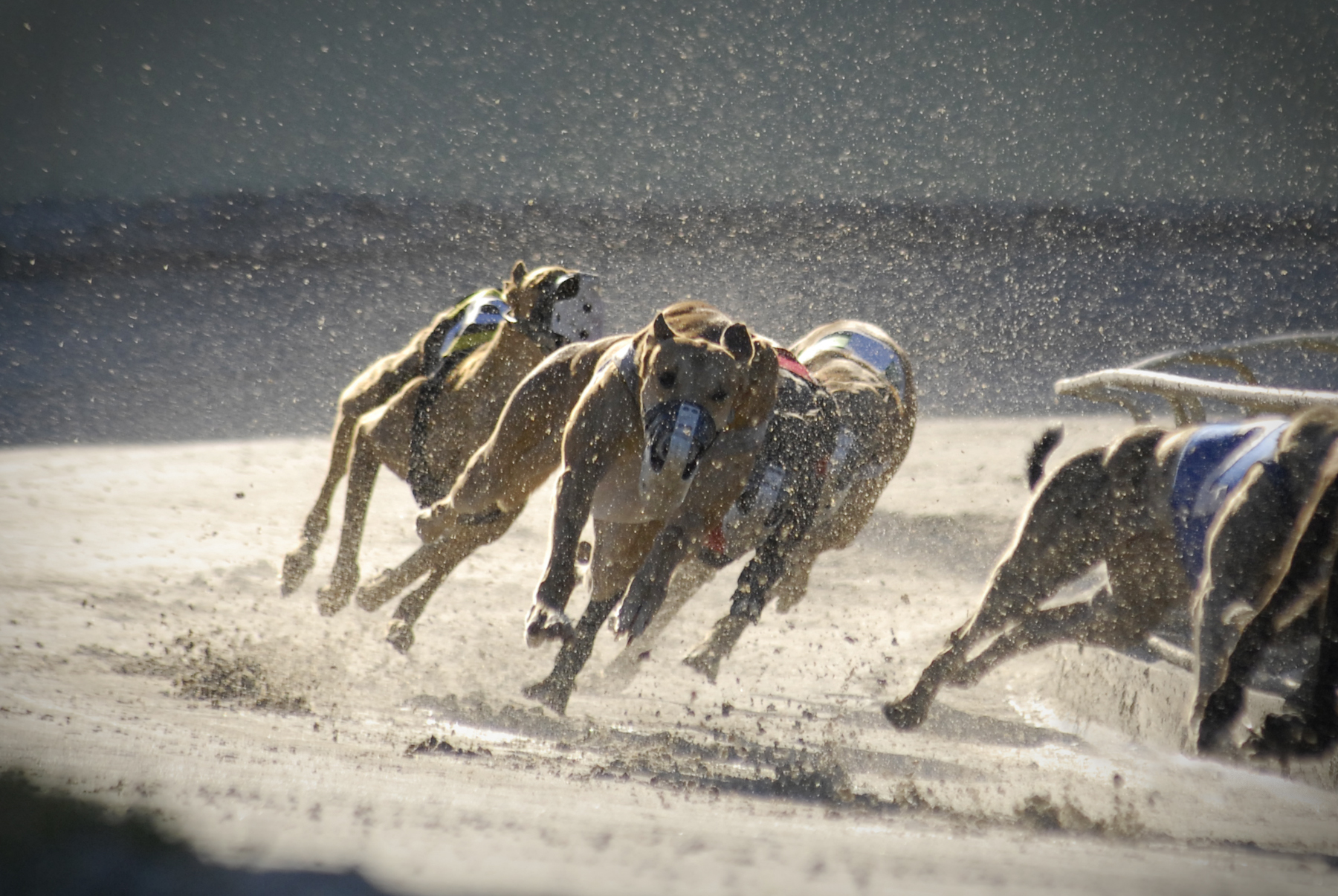 Why the RSPCA doesn't want greyhound racing shut down