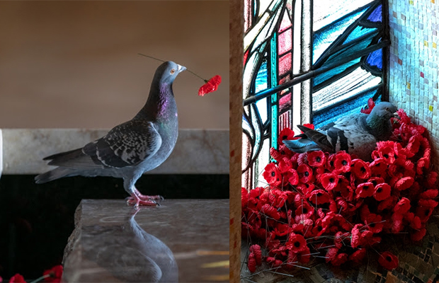 Rumour confirmed! Pigeon pinches poppies to build beautiful nest at Australian War Memorial