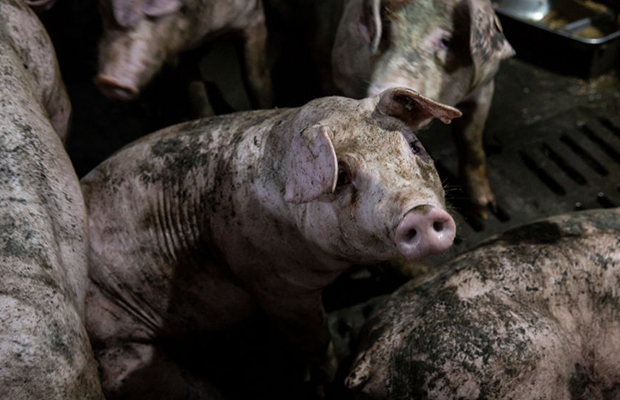Article image for Warning for Australians: Deadly pork disease detected in Indonesia