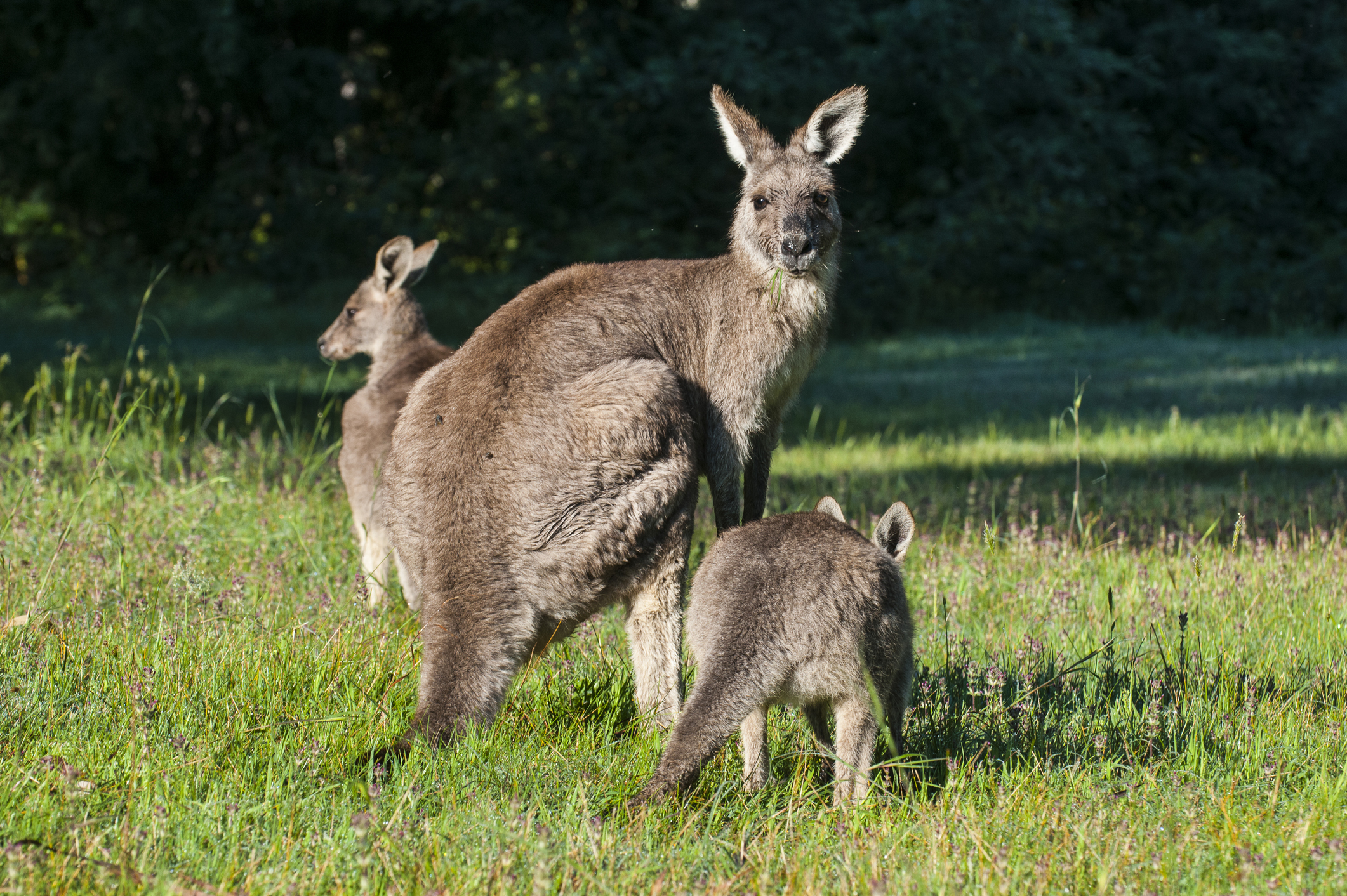 Article image for Animal Justice Party wants native culling stopped immediately due to bushfire crisis