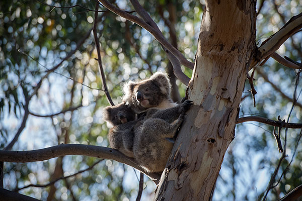 Article image for A national koala plan needed to avoid extinction, scientists say