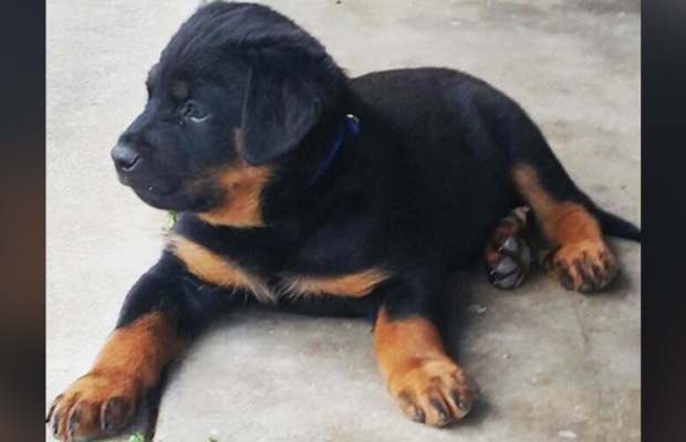 Article image for Dog-nappers: Man charged, but this little puppy remains missing
