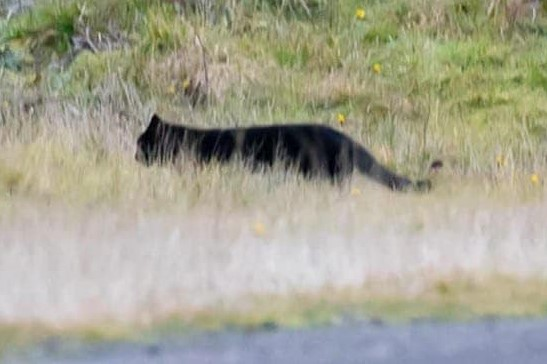Article image for Otway panther? Photographer snaps pictures of big cat
