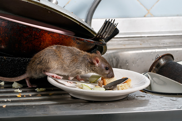 Article image for Why rat and mice populations are surging in Melbourne's suburbs