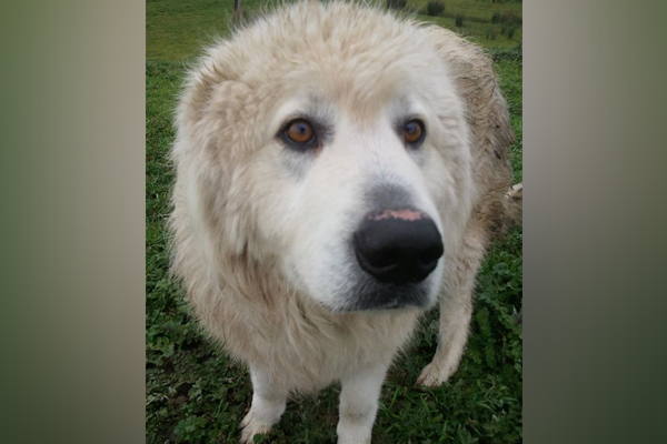 Article image for Spate of Maremma dog thefts from Yarra Ranges farms spark dog fighting fears