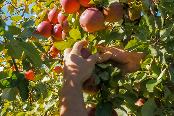 Article image for Victorian Farmers Federation boss says cash bonus makes fruit picking 'quite lucrative'