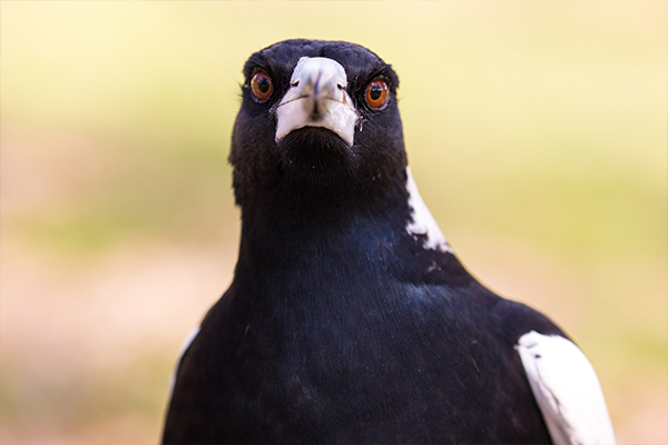 Article image for Why experts fear magpie swooping season may be worse than usual this year