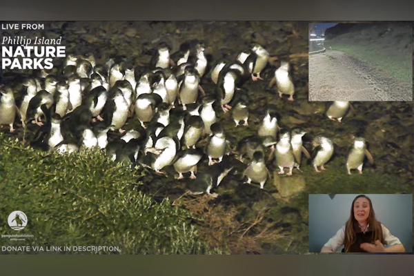 Article image for The unexpected star of the Phillip Island Penguin Parade live stream