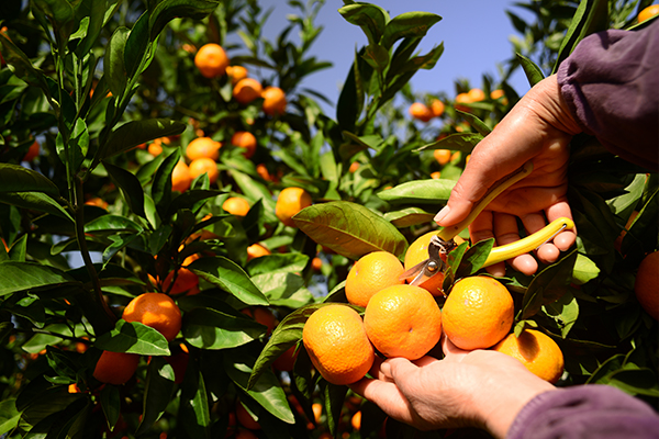 Article image for Lack of fruit pickers sparks price rise