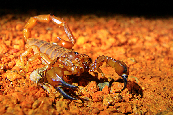 Article image for Why giant scorpion populations are surging in parts of Victoria and NSW