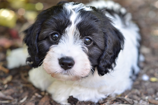 Article image for Puppy prices soar due to demand in lockdown-hit Victoria
