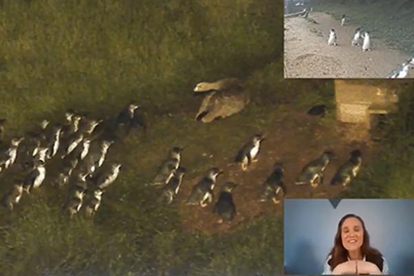 Penguins v giant goose: Tense stand-off at Phillip Island Penguin Parade