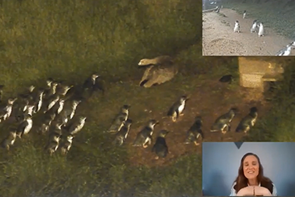 Article image for Penguins v giant goose: Tense stand-off at Phillip Island Penguin Parade