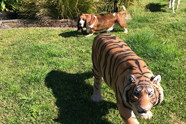 Article image for Life-sized tiger model pinched from yard of prominent businessman
