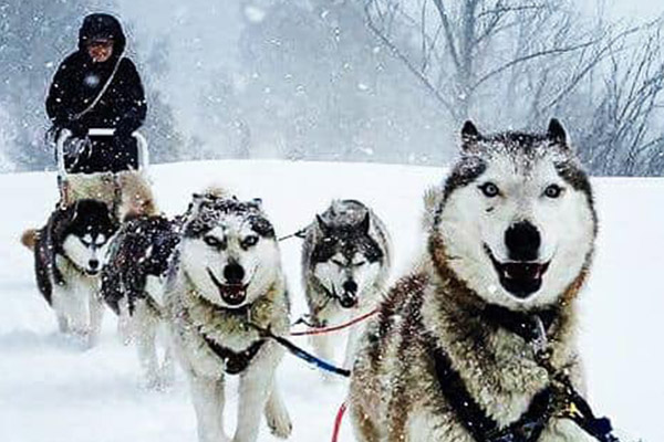 Article image for Give a dog a home: Sled dog tour operator forced to rehome huskies