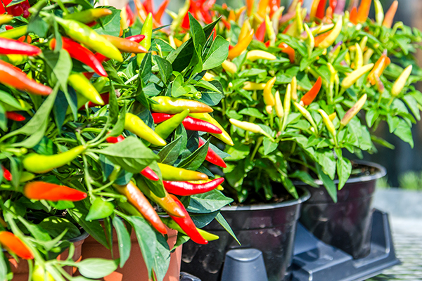 Article image for Those who eat chilli live longer, new study finds!