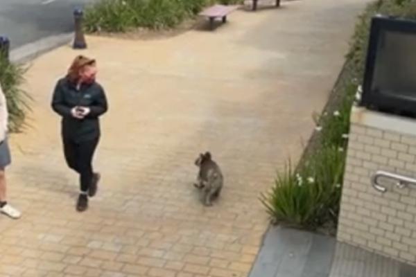 Article image for Koala cruises past pub along main street in coastal town!