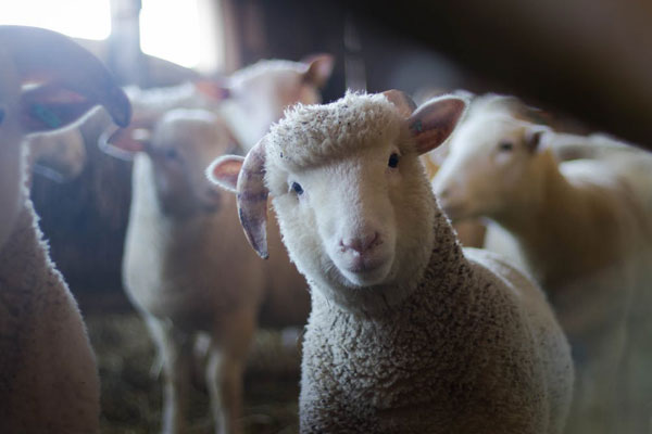 Article image for 'The community doesn't want it': MP says massive sheep farm shouldn't go ahead