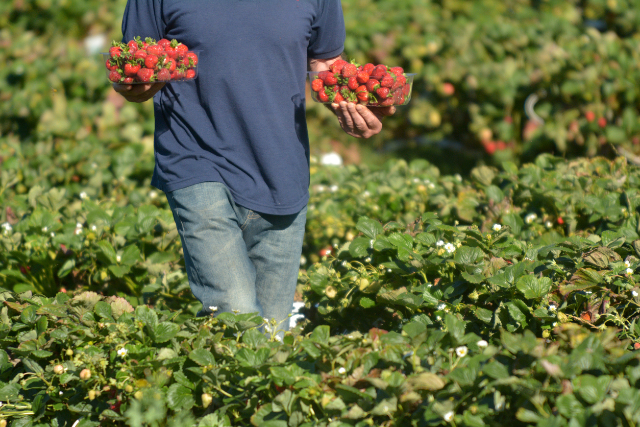 Slim pickings: fruit and veg growers in labour shortage 'crisis'