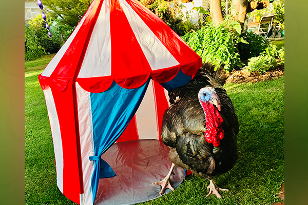 Article image for Pet turkey becomes the star of a Victorian town