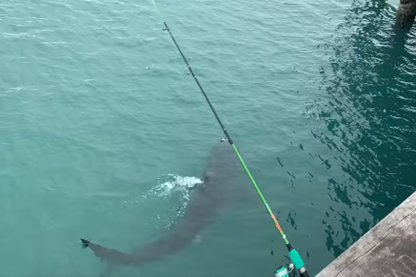 Article image for Great White Shark spotted swimming under Lorne Pier