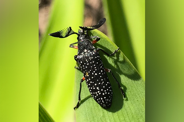 Article image for What is this? Listener calls for help to identify spectacular beetle