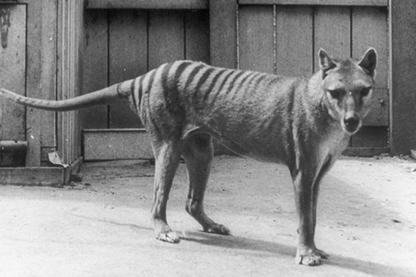 Man remains 'absolutely convinced' he has photos of Tasmanian Tiger family