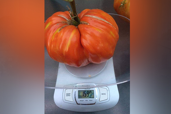 Article image for 3AW Mornings listener's enormous home-grown tomato