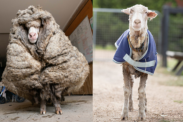 Article image for New fleece on life: 35 kilograms of wool shorn from wild sheep