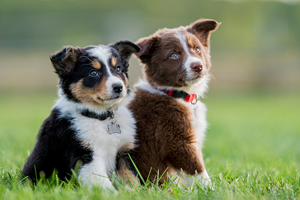 Article image for Concerns over resurgence in illegal puppy trade in Victoria