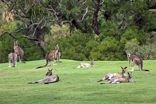 Article image for Why two American congressmen want to ban kangaroo imports to the US