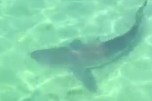 Shark spotted swimming off popular pier on the Mornington Peninsula!