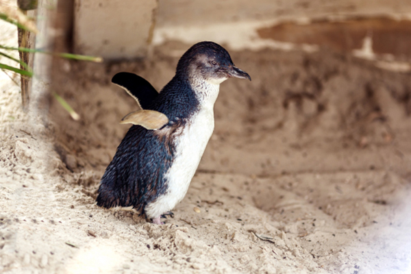 Article image for Victorians urged to look for young penguins washed up after wild weather