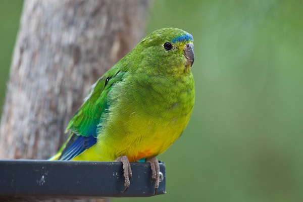 Article image for Why this critically-endangered bird has been released back into the wild