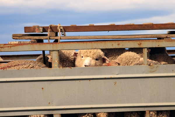 Article image for Why Australia needs to follow suit on the export of live animals